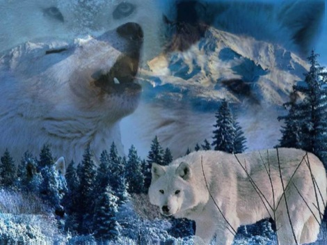 white-wolves-howl-animals